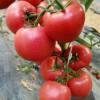 雅安番茄育苗基地 越冬番茄苗价格