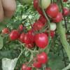 石嘴山销售西红柿苗 嫁接西红柿苗报价